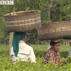 En Inde, des cueilleuses de thé ont remporté un combat contre l'entreprise qui possède Tetley - ici des cueilleuses de l'Assam dans un documentaire de la BBC - capture d'écran