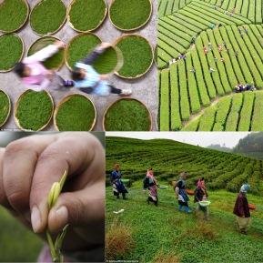 La cueillette du thé en Chine ©Xinhua_Rex_Shutterstock