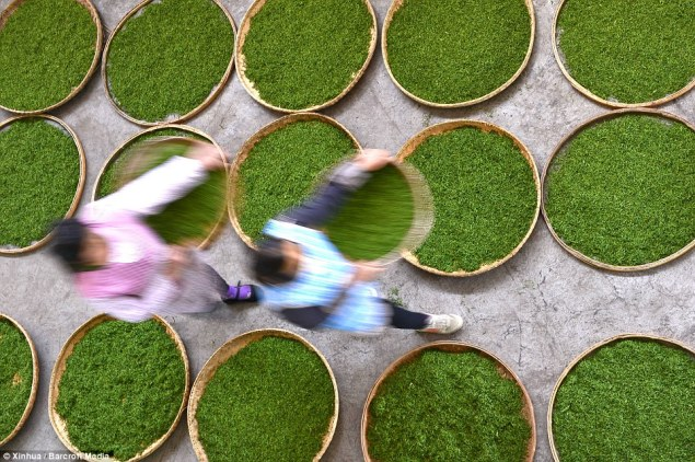Workers air the newly picked tea leaves in China ©Xinhua_Barcroft Media