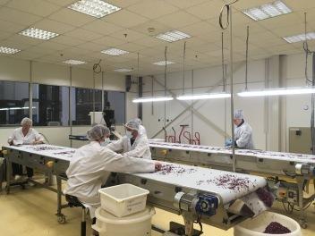 Le tri des pétales de rose de Bulgarie Dammann Frères est effectué à la main à Dreux - ©Chloé Chateau