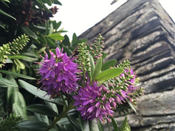 Purple flowers in Port Erin, Isle of Man