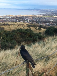 Crow when climbing down Arthur's Seat - ©Chloé Chateau