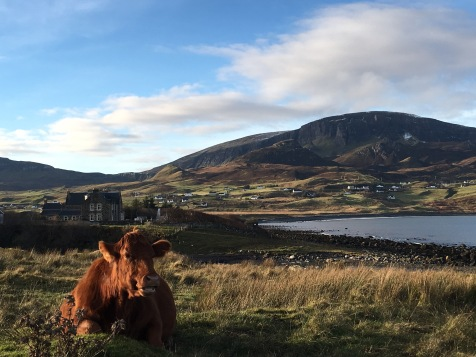 A cow of Trotternish, Isle of Skye, Scotland