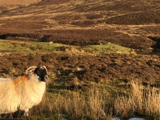 Sheep with orange paint in The Cuiraing, Isle of Skye, Scotland