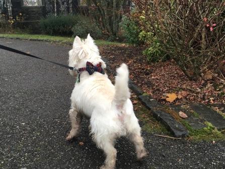Oban-Dog with a tartan bowtie